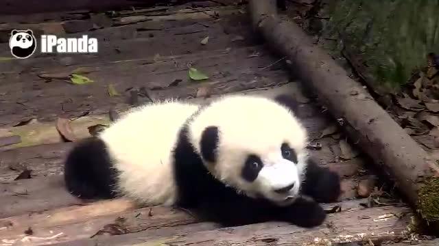 壁纸 大熊猫 动物 640_360