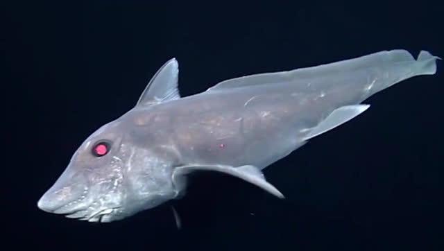 太平洋深海幽灵鲨视频首次公布