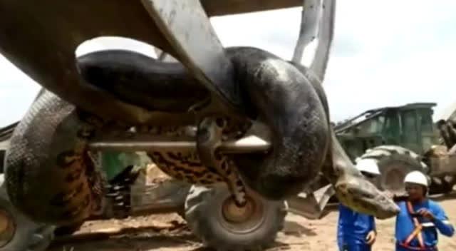 工人修建水库炸出10米长巨蟒 重达800斤 电影狂蟒之灾
