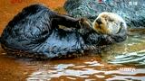 摄影师拍下水獭夫妻水中牵手入眠温馨一幕