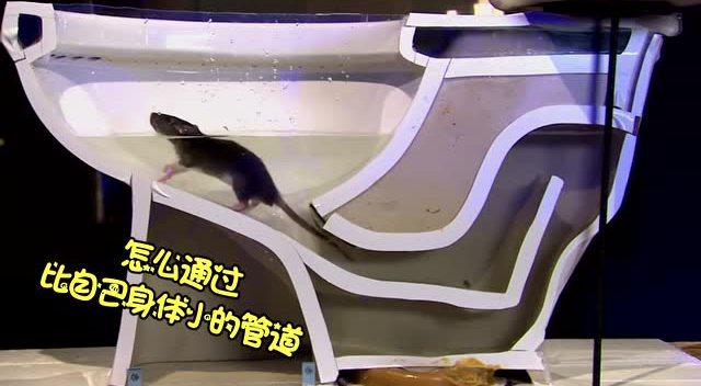 当你蹲马桶的时候,里面出现了只老鼠.哈哈哈