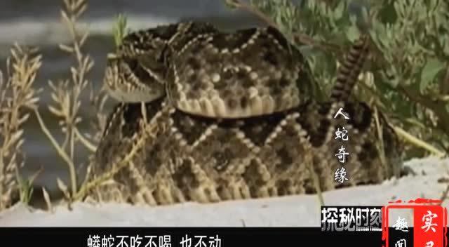 实拍:蟒蛇吞食蟒蛇全过程