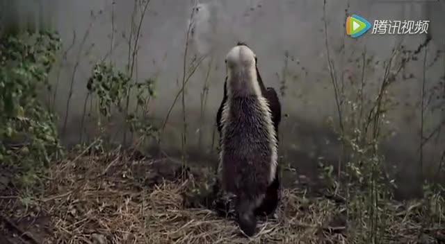 蜜獾这货在野外是流氓,在动物园是越狱之王
