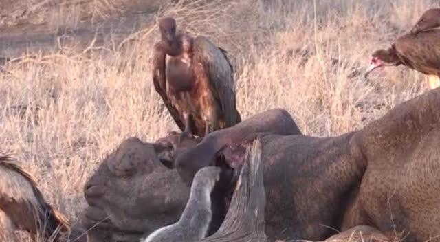 横行非洲的平头哥,连鬣狗都不怕!