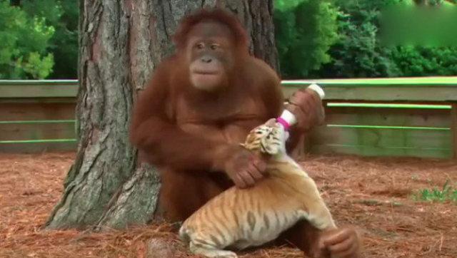 朝鲜动物园19岁大猩猩抽烟网络爆红