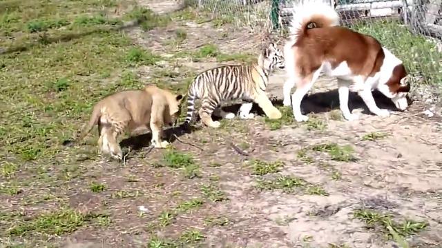 丹麦一动物园杀死小狮子 在孩子面前解剖 - 善待动物