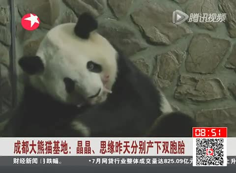 成都大熊猫基地 晶晶思缘昨天分贝产下双胞胎