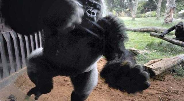 英国动物园一只大猩猩突然发狂 装烂玻璃逃跑吓坏游客!