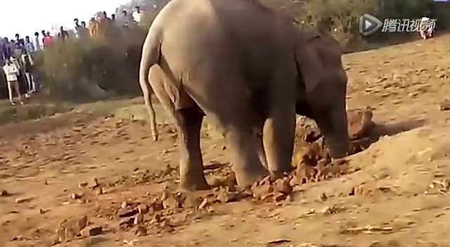 母象救子感人至深 屡败屡试坚持11个小时截图