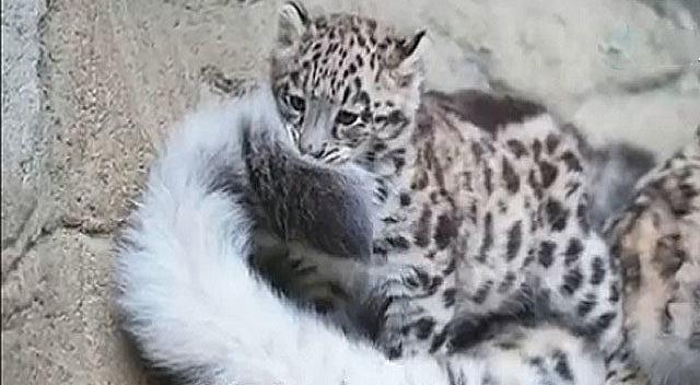 猛兽也卖萌,看雪豹叼着尾巴的模样可爱极了
