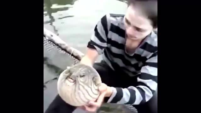 河豚由球变成正常的鱼,全过程,鼓鼓的好可爱