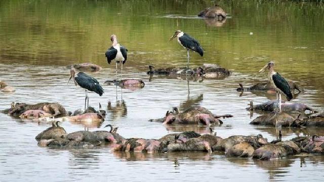 自然界中的动物过河
