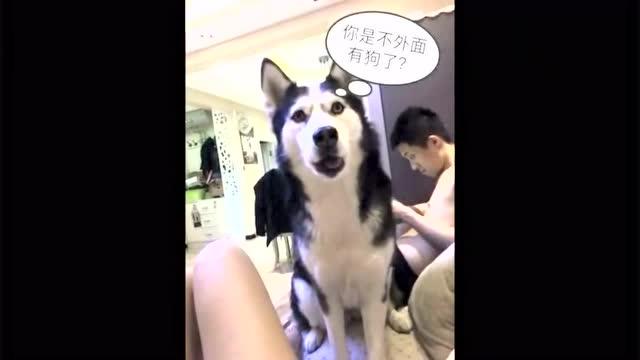 你是不是有别的狗了_在外面抱了下泰迪,回家后二哈吃醋了:你是不是有别的狗了
