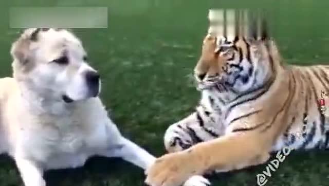 一只讓老虎跪舔的狗,看的我尷尬癥都犯了!圖片