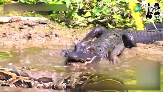 5米巨蟒生吞鱷魚 被吞的鱷魚垂死掙扎 巨蟒悲劇了圖片