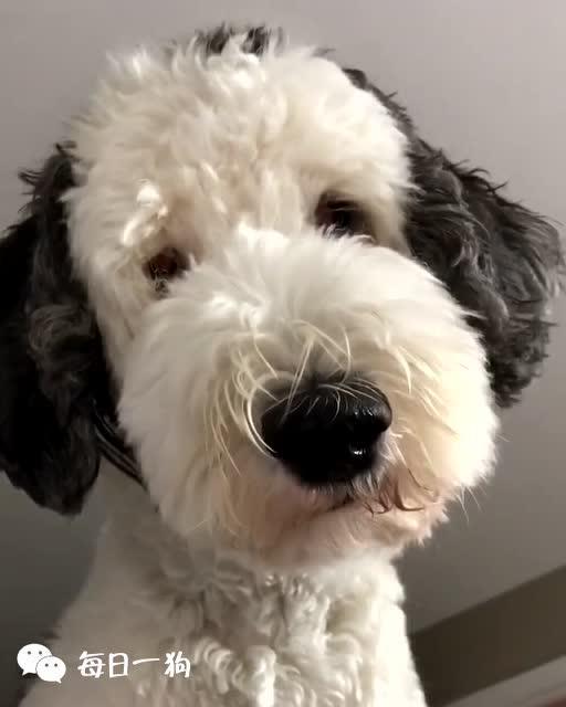 每天被真狗版史努比叫醒是什么体验?一般人无法想象的幸福!