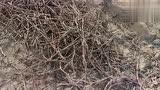 冬天剪下来的葡萄树枝怎么成为明年的葡萄树苗