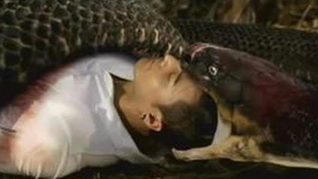 大蛇吃人事件_眼镜蛇吞人瞬间,被老头一句话阻止